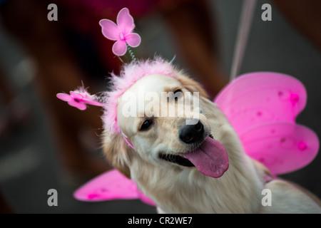 A Labrador Retriever dog participates in the pet carnival show at Copacabana beach in Rio de Janeiro, Brazil. - Stock Photo