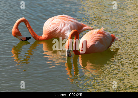 American or Caribbean Flamingo (Phoenicopterus ruber), Caya Coco, Cuba, Greater Antilles, Caribbean, Central America, - Stock Photo