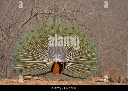 Display of the male Indian Peafowl (Pavo cristatus), Ranthambore National Park, Rajasthan, India, Asia - Stock Photo