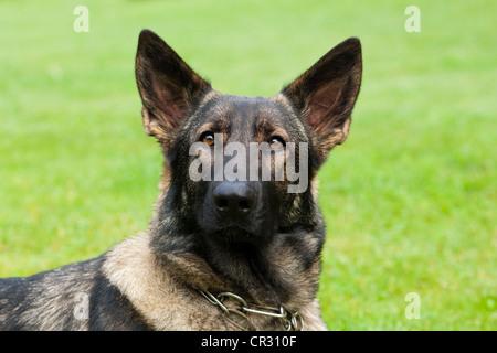 German shepherd dog, Alsatian, portrait - Stock Photo