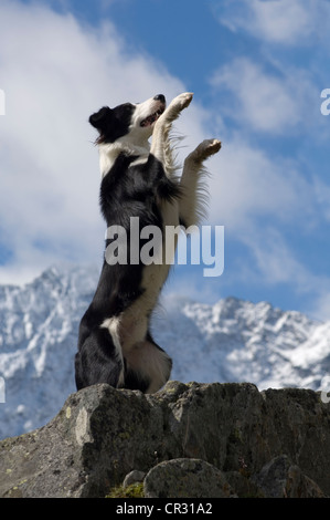 Border collie sitting up and begging on rocks, snowy mountains at the back, northern Tyrol, Austria, Europe - Stock Photo