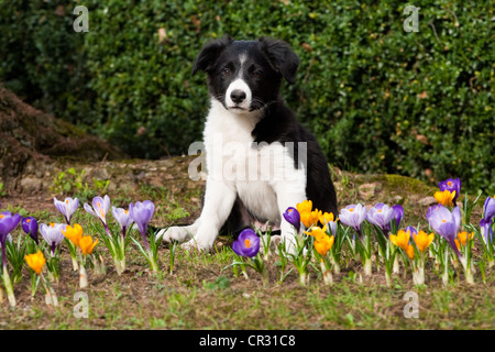 Border collie, puppy sitting between crocuses in a garden - Stock Photo