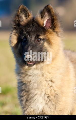 Belgian shepherd dog, puppy, portrait - Stock Photo