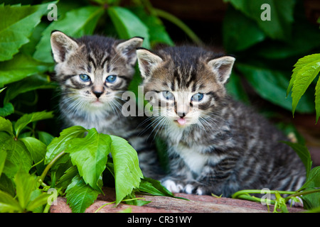 Two grey tabby domestic cats, kittens, North Tyrol, Austria, Europe - Stock Photo