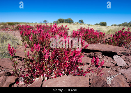 Flowers in the outback after the rain, Northern Territory, Australia - Stock Photo