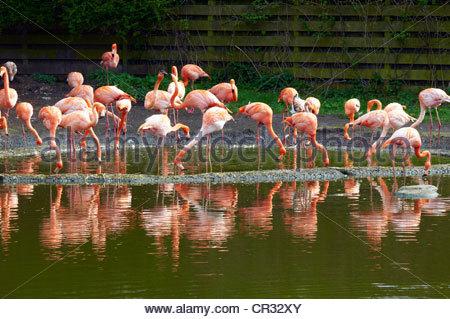 Caribbean flamingos Phoenicopterus ruber at a waterhole - Stock Photo
