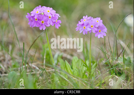 Bird's-eye primroses (Primula farinosa), Nationalpark Hohe Tauern national park, Austria, Europe - Stock Photo