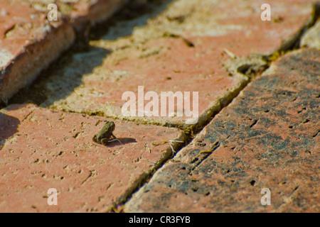 very young California Treefrog Pseudacris cadaverina tree frog - Stock Photo