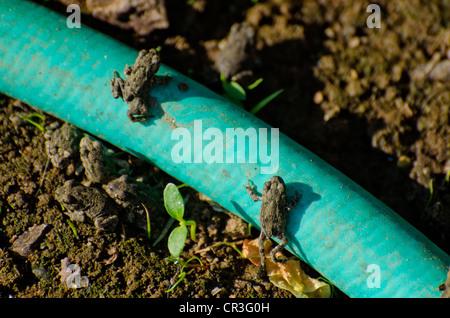 two very young California Treefrog Pseudacris cadaverina tree frogs climbing a garden hose - Stock Photo