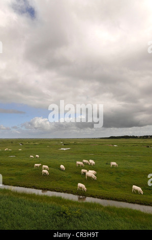 Group of White Cows in Green Meadows with Big Clouds