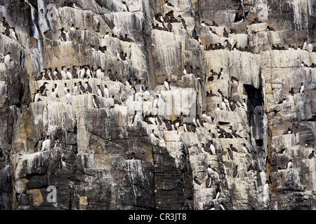 Razorbills and Guillemots nesting on cliff ledges on the Isle of May. - Stock Photo