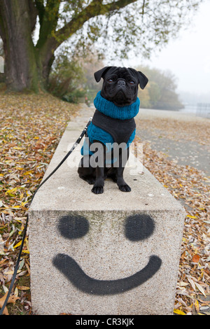 Black pug wearing a sweater sitting on a wall with a smiley graffito by Oz, Hamburg, Germany, Europe, PublicGround - Stock Photo