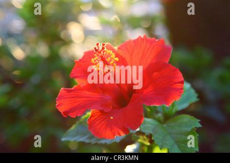Tropical Hibiscus Flower - Stock Photo
