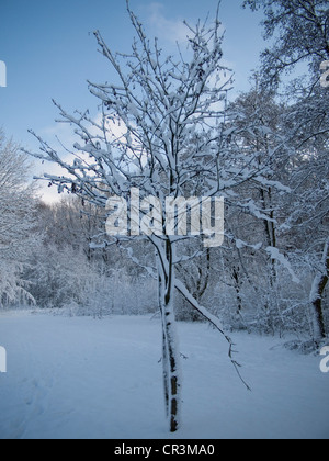 Snow-covered tree, forest, Gysenberg, Herne, Ruhr Area, Germany, Europe - Stock Photo