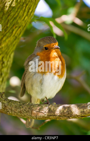 The European Robin (Erithacus rubecula), most commonly known in Anglophone Europe simply as the Robin. - Stock Photo