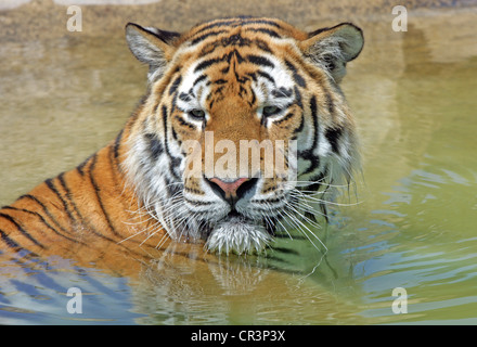 A male Bengal Tiger bathing in a shallow pool - Stock Photo