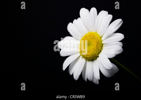Leucanthemum vulgare. Single ox-eye daisy flower against a black background. - Stock Photo