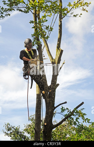 Tree climber with a chain saw, hooks, ropes and safety devices cutting down a tree, tree care services, PublicGround - Stock Photo
