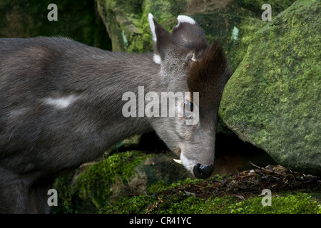 Western Tufted Deer or Elaphodus cephalophus scouring its head against rocks - Stock Photo