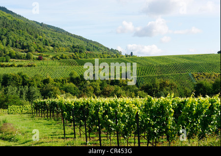 Vineyards, grapevines in Edenkoben, German Wine Route, Palatine wine, Palatinate Forest Nature Reserve, Rhineland - Stock Photo