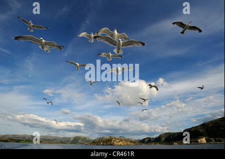 European Herring gulls (Larus argentatus) and Common Gulls or Mew Gulls (Larus canus), flying, Norwegian coastline, - Stock Photo