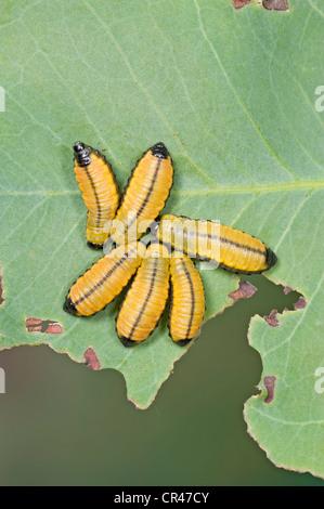Eucalyptus leaf beetle larvae on gum tree leaf - Stock Photo
