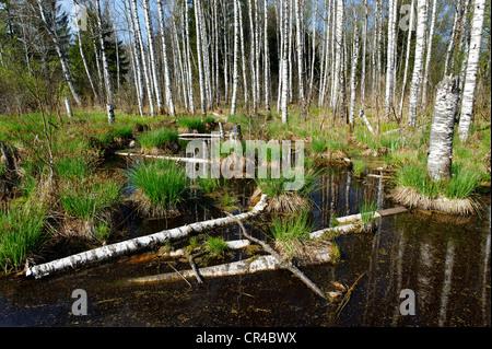 Moor lake or bog with birch trees, Benediktbeurer Moor or Moos, Benediktbeuern, Upper Bavaria, Germany, Europe - Stock Photo