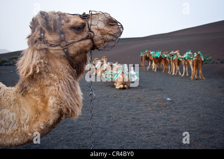 Camels in Timanfaya Volcanoe National Park in Lanzarote, Canary Islands, Spain, Europe - Stock Photo