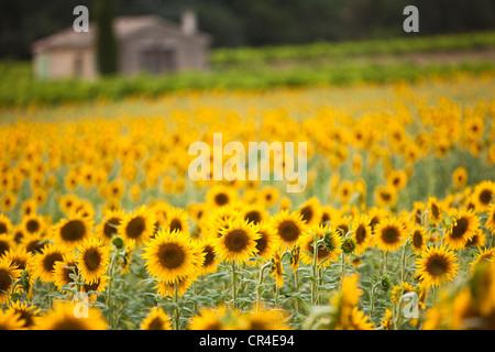 France, Vaucluse, Luberon, near Lourmarin, sunflowers field - Stock Photo