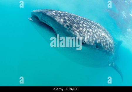 Mexico, Quintana Roo State, Carribbean sea, Holbox island, the whale shark (Rhincodon typus), it is the biggest - Stock Photo