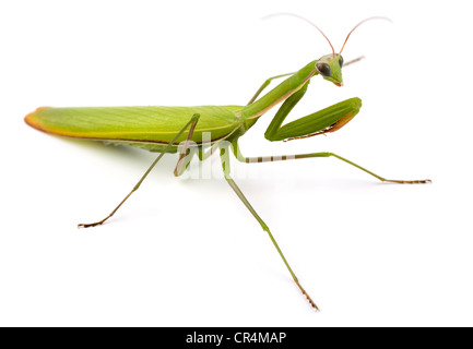 Praying mantis (Mantis religiosa) isolated on white - Stock Photo