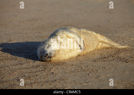 A seal pup on the beach at Winterton on Sea in Norfolk - Stock Photo