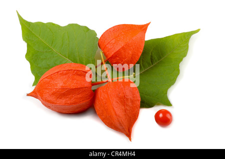 Physalis (Physalis alkekengi) flower and leaves isolated on white - Stock Photo
