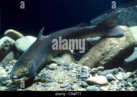 Atlantic salmon (Salmo salar) - Stock Photo