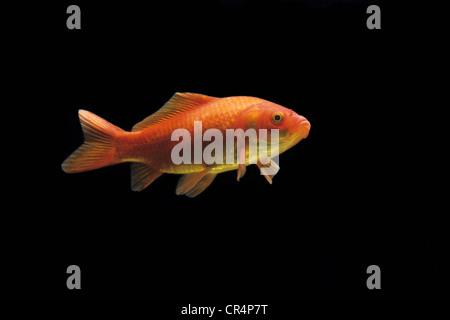 Goldfish (Carassius auratus auratus) - Stock Photo