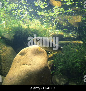 Brown trout (Salmo trutta fario) - Stock Photo