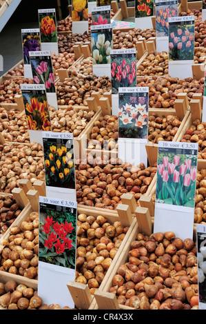Netherlands, Amsterdam, bulbs on flower market of Singel canal - Stock Photo
