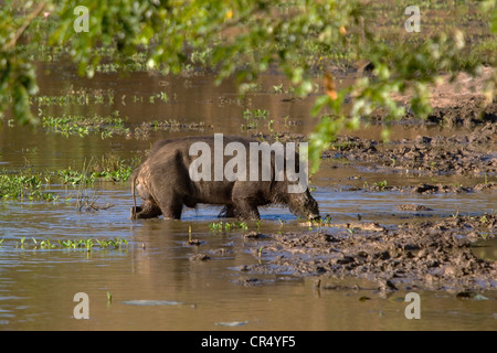 Wild boar (sus scrofa) and juvenile crocodile at the water's edge, Yala West (Ruhuna) National Park, Sri Lanka - Stock Photo