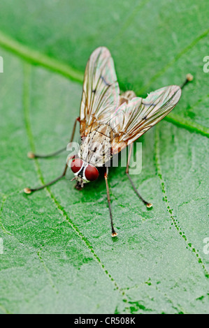 House-fly our housefly (Musca domestica), North Rhine-Westphalia, Germany - Stock Photo