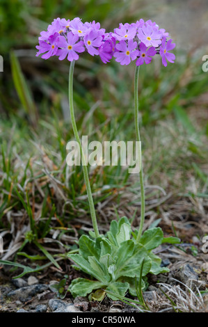Bird's-eye primrose (Primula farinosa) thrives on grazed meadows rich in lime and moisture Ribblehead Quarry Ingleborough - Stock Photo