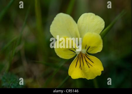 Mountain Pansy (Viola lutea) close-up of flower Ingleborough National Nature Reserve North Yorkshire UK Europe June - Stock Photo