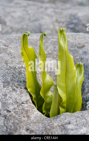 Hart's-tongue fern (Phyllitis scolopendrium) fronds growing in gryke (crevice) limestone pavement Ingleborough England - Stock Photo