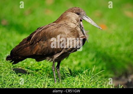 Hammercop, Hammerkop, Hammerhead Stork (Scopus umbretta), yawning, captive, African species, Czech Republic, Europe - Stock Photo