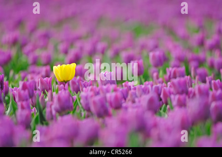 Single yellow tulip in the midst of many purple tulips in a field of Tulips (Tulipa sp.), near Lisse, South Holland, - Stock Photo