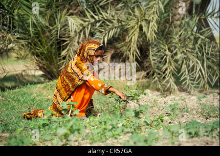 Young woman, 18, working in the fields, village of Moza Sabgogat near Muzaffaragarh, Punjab, Pakistan, Asia - Stock Photo