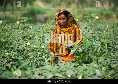 Young woman, 18, in an okra field, village of Moza Sabgogat near Muzaffaragarh, Punjab, Pakistan, Asia - Stock Photo