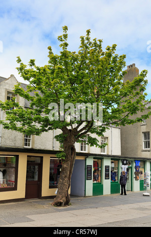 The Big Tree is a two hundred year old Sycamore tree (Acer pseudoplatanus) in Albert Street Kirkwall Orkney Islands - Stock Photo