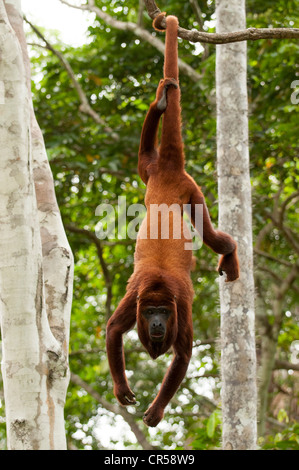 Red Howler Monkey hanging by prehensile tail. - Stock Photo