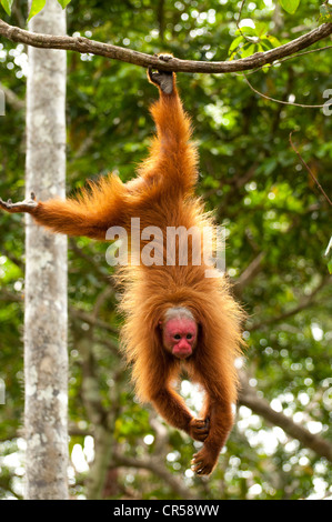 Peruvian red uakari monkey (Cacajao calvus ucayalii) hanging by feet. - Stock Photo