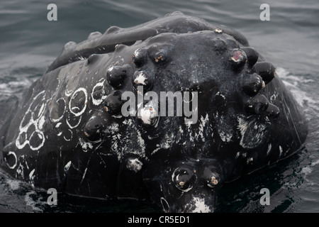 Humpback Whale (Megaptera novaeangliae) interacting with Whalewatch boat. Monterey, California, Pacific Ocean. - Stock Photo